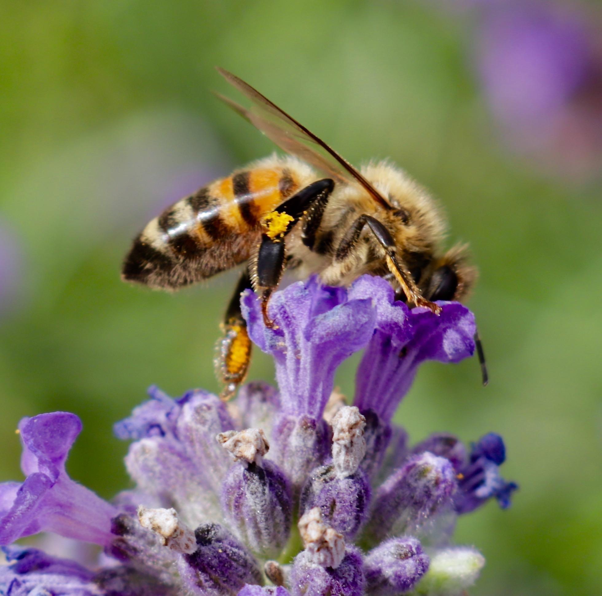 Nektar fassende Honigbiene