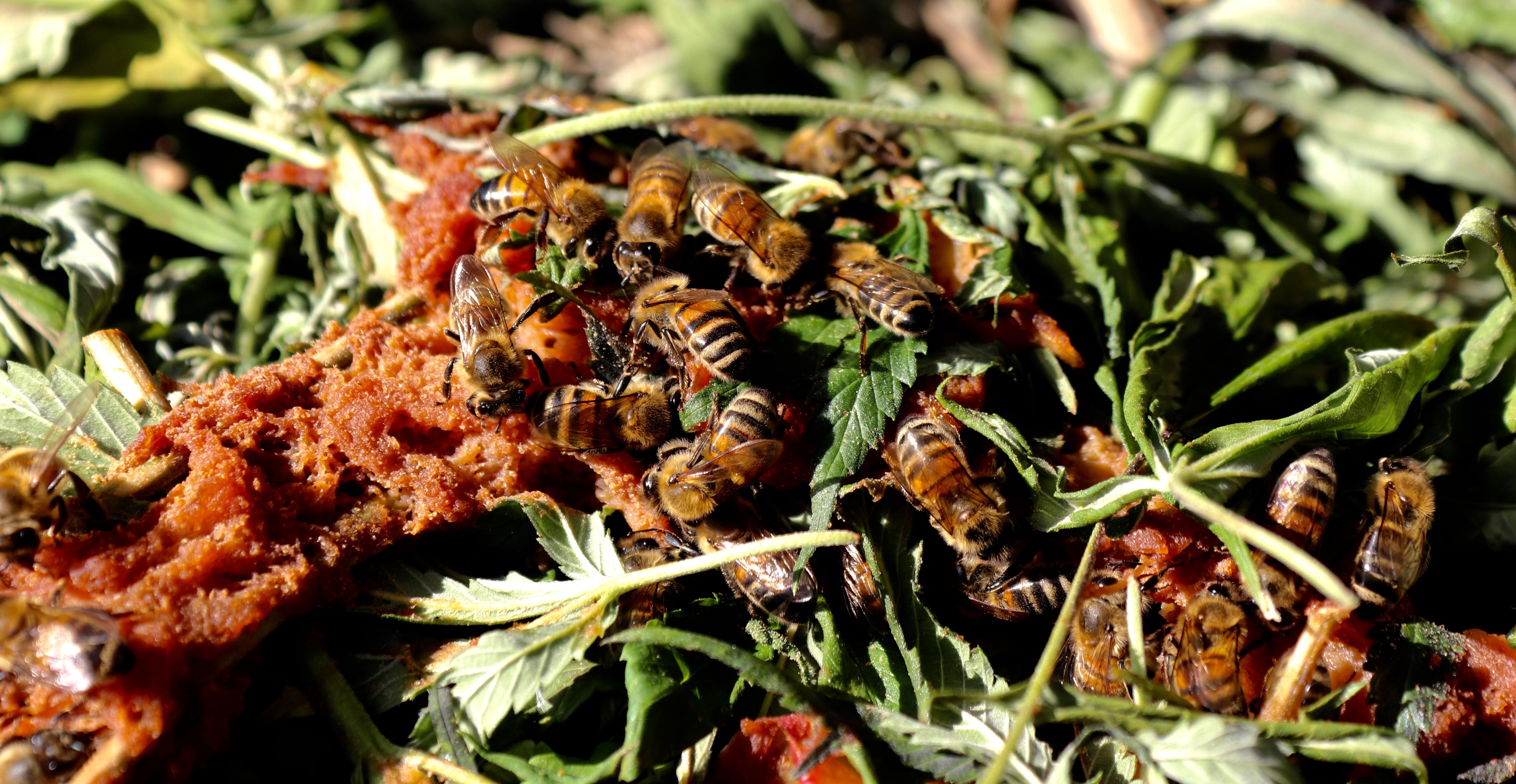 10. Auf Kompost wühlen sich Bienen durch Blätter um an Apfelmus zu gelangen.